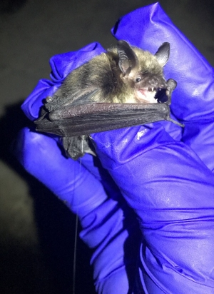Rare Bat Found In Twinsburg