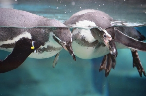 January Marks Penguin Palooza At Akron Zoo