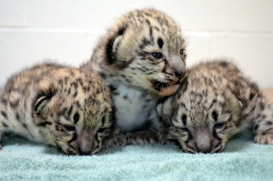 Akron Zoo Welcomes Snow Leopard Triplets
