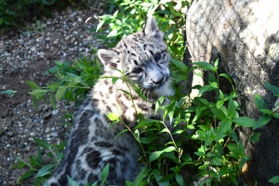 New female Snow Leopard cub at Akron Zoo.
