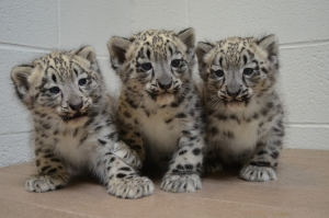 Snow leopard cubs at 7 weeks