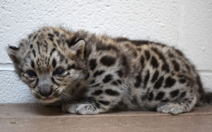New @ the Zoo: Akron Welcomes Snow Leopard Cub